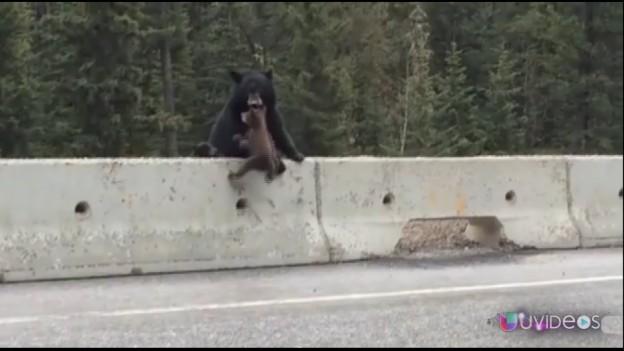 El increíble momento en el que una osa salva a su cachorro de ser arrollado